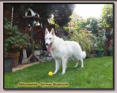 Mountwhite German Shepherd